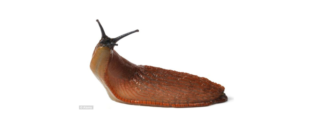 Beware of slug invasion, gardeners told - Experts believe this will be the worst ever year for slugs and snails, following a particularly warm winter